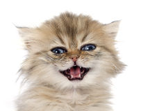 Persian kitten Royalty Free Stock Image
