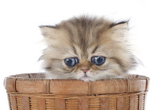 Persian kitten Royalty Free Stock Images