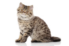 Persian kitten in front of white background. Persian shorhair kitten 3 months sitting in front of white background stock photography