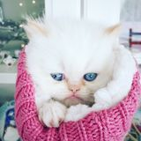 Persian kitten gift Royalty Free Stock Photo