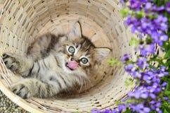 Persian Kitten In Basket Stock Photos