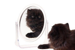 Persian kitten with mirror isolated on white. Black persian kitten with mirror reflection isolated on white stock photo