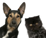 Persian kitten and a Mixed-breed dog in front of. White background Royalty Free Stock Photo