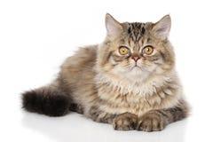 Persian kitten Stock Image