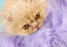 Persian kitten peeking Royalty Free Stock Photo
