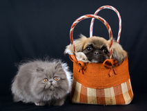 Persian kitten and Pekingese puppy. Cute kitten and puppy on black background Royalty Free Stock Photos