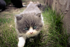 Persian kitten Royalty Free Stock Photos