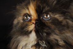 Persian kitten portrait Royalty Free Stock Photography