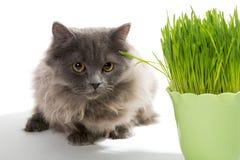 Persian kitten and a pot of green grass Stock Photo