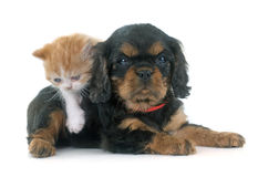 Persian kitten and puppy Royalty Free Stock Photos