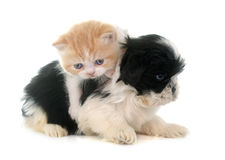 Persian kitten and puppy Royalty Free Stock Images
