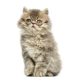 Persian kitten sitting, looking up, 10 weeks old Royalty Free Stock Photos