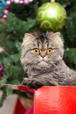 Persian kitten sitting in red box under Christmas tree Stock Photography