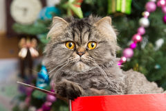 Persian kitten sitting in red box under Christmas tree Royalty Free Stock Images