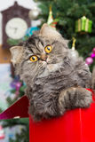 Persian kitten sitting in red box under Christmas tree Stock Images