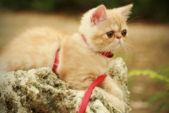 Persian kitten for a walk. Little persian kitten for a walk royalty free stock images