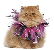 Persian kitten wearing pink ribbons. 4 months old, sitting in front of white background Royalty Free Stock Photography