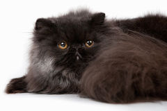 Persian kitten Stock Image