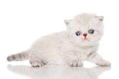 Persian kitten on white background Stock Photo