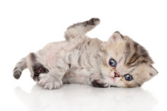 Persian kitten on white background Royalty Free Stock Images