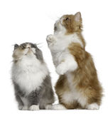 Persian Kittens, 3 months old, standing Stock Photo