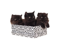 Persian kittens in gift box isolated on white. Black persian kittens sitting in gift box isolated on white Royalty Free Stock Images