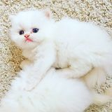 Persian kittens Royalty Free Stock Photography
