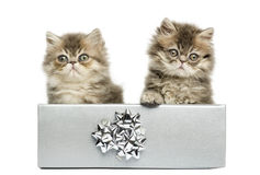 Persian kittens sitting in a silver present box, Royalty Free Stock Photography