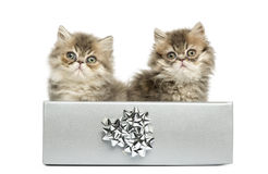 Persian kittens sitting in a silver present box, Stock Images