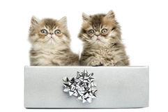 Persian kittens sitting in a silver present box, Royalty Free Stock Photos