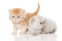 Persian kittens Stock Photography