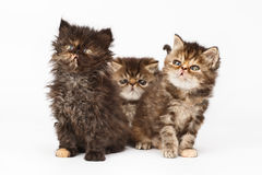 Persian kittens Royalty Free Stock Photo