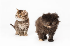 Persian kittens Royalty Free Stock Image