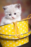 Persian kitty Stock Photography
