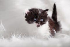 Persian kitty Royalty Free Stock Image