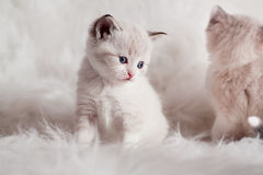 Persian kitty Royalty Free Stock Photos