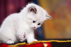 Persian kitty. Portrait of a young small persian kitty stock photography