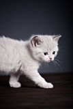 Persian kitty Stock Photo