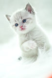 Persian kitty Royalty Free Stock Photography