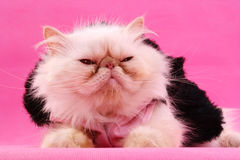 Persian kitty. A persian cat with a squint royalty free stock image