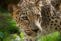 Persian Leopard Royalty Free Stock Photography