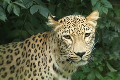 Persian leopard Stock Image