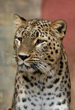 Persian Leopard. A Persian Leopard (Panthera pardus saxicolor) at Jihlava Zoo in Eastern Bohemia, Czech Republic stock photography
