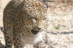 Persian leopard. Close-up of face and torso of beautiful Persian leopard Royalty Free Stock Photos