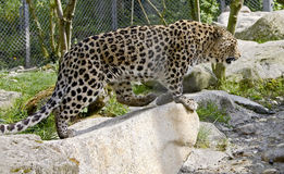 Persian leopard 7 Stock Photography