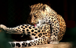 Persian Leopard Royalty Free Stock Image