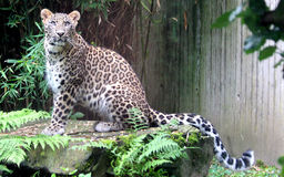 Persian leopard or Caucasian leopard. Leopard is one type of mysterious felid, very beautiful Stock Photo