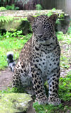 Persian leopard or Caucasian leopard. Leopard is one type of mysterious felid, very beautiful Stock Photos