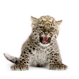 Persian leopard Cub (2 months). Leopard Cub (2 months) in front of a white background Stock Photo
