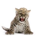 Persian leopard Cub (2 months) Stock Photo